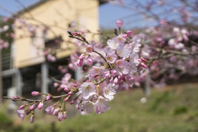 西田平駅(松浦鉄道)のジンダイアケボノ桜