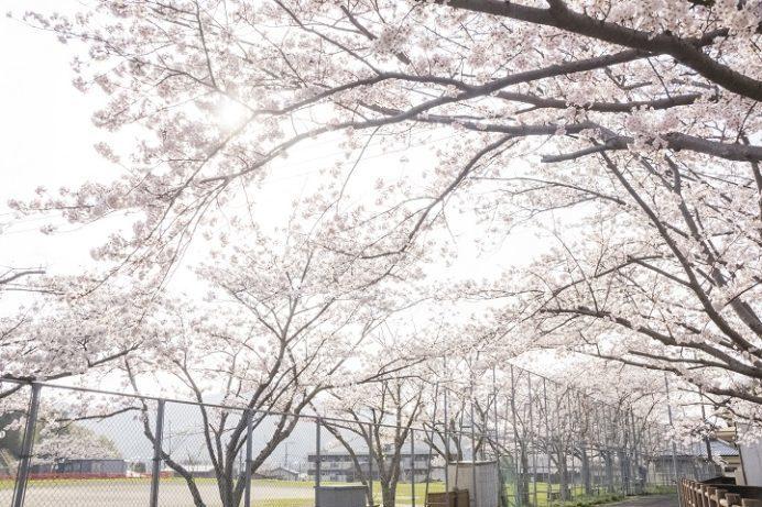 小ヶ倉水園、小ヶ倉ダム(長崎市上戸町)の桜と花見