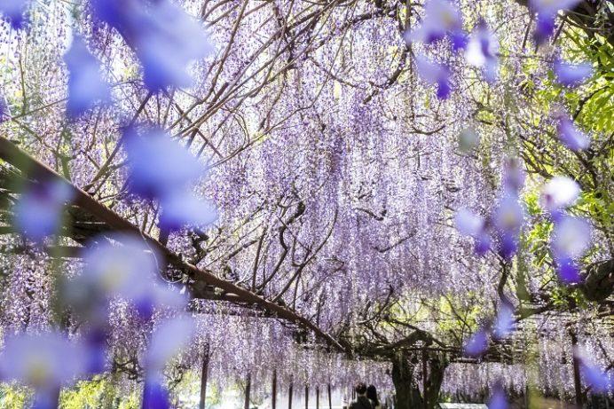 藤山神社(長崎県佐世保市)の藤(フジ)