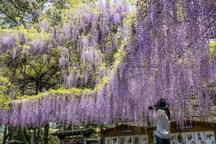 【見頃速報2021(4/21更新)】「藤山神社」~フジの規模は?九州最大級!