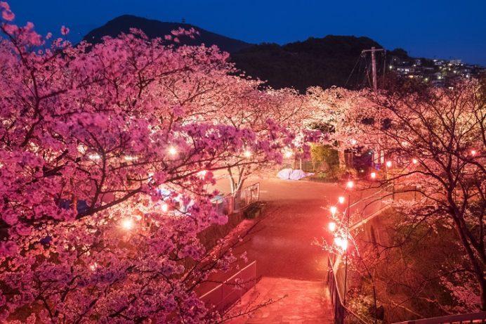 風頭公園(長崎市伊良林)での桜の花見、ぼんぼり(ライトアップ)