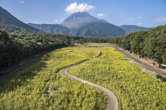 しまばら火張山花公園(長崎県島原市上折橋町)のひまわり