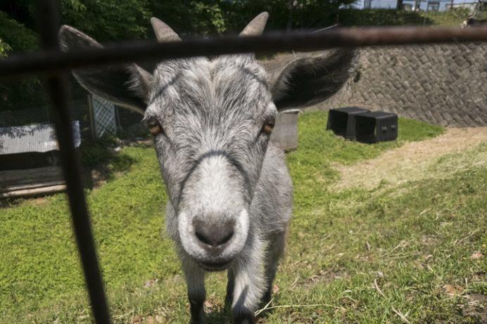 しまばら火張山花公園(長崎県島原市上折橋町)のヤギ