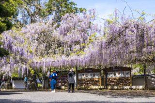 【藤山神社のフジ  見頃速報!】~長串山公園、佐世保花園も突入(4月15日(木))