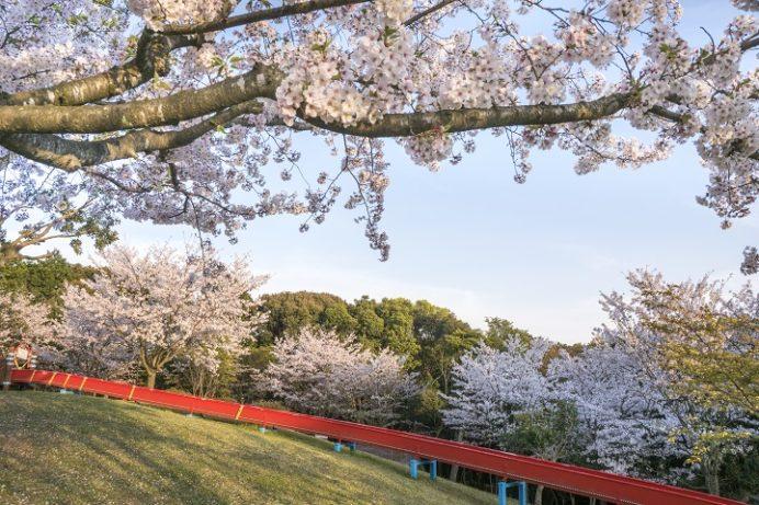 花高中央公園の桜【満開はいつ?開花速報2021】~団地公園で遊具ハンパなし