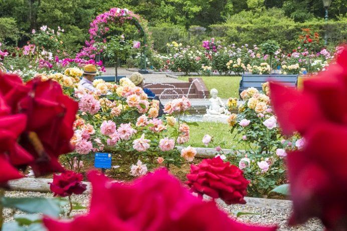 ハウステンボス(長崎県佐世保市)のバラ祭