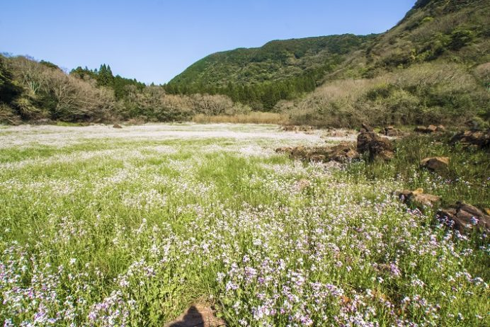 五蔵大池・五蔵森林公園(佐世保市吉井町)のハマダイコン