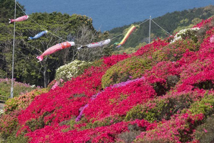 長串山公園(佐世保市鹿町町)のつつじまつり、鯉のぼり