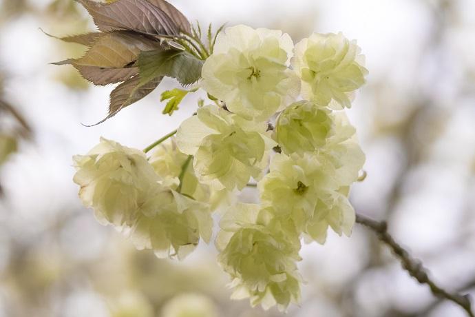 西海橋公園(佐世保市針尾東町)の桜と花見、ウコン(鬱金)