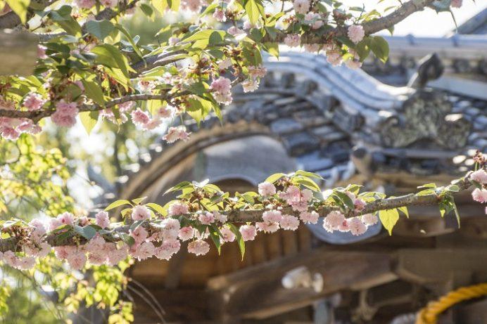 大村公園(長崎県大村市玖島)のオオムラザクラ、大村神社