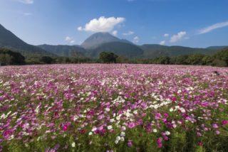 【今が満開!見頃速報2021】しまばら火張山花公園のコスモス~県下最強1,000万