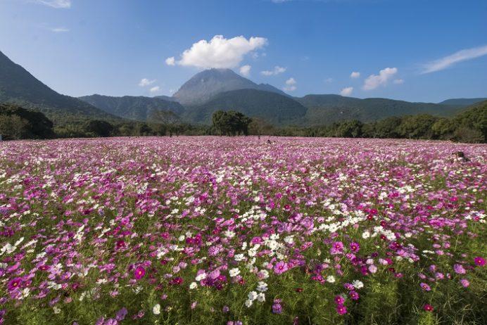 【2021年見頃速報!】「しまばら火張山花公園」~県下最強1,000万のコスモス