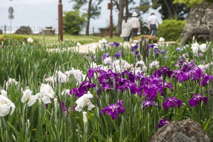 大村公園(長崎県)の花菖蒲