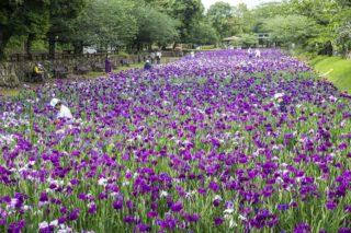 【見頃キタァー!】「大村公園の菖蒲」~2021年5月24日(月)