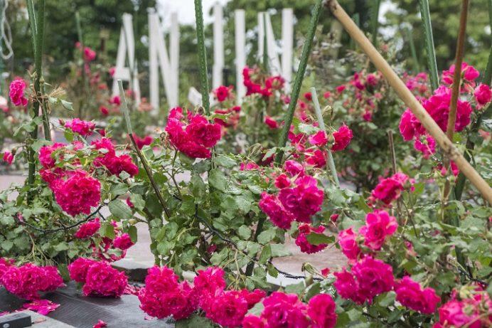 「ANJINローズガーデン」(平戸市)のバラ