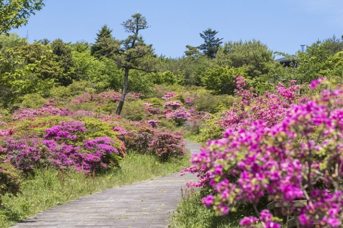 宝原園地(長崎県小浜市雲仙)のミヤマキリシマ