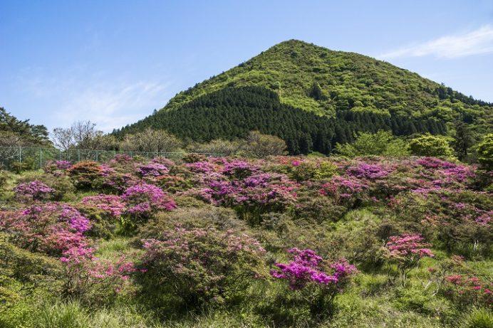 雲仙岳・仁田峠(長崎県島原半島)のミヤマキリシマ