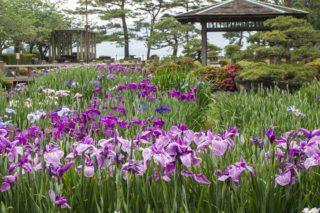 「大村公園 花菖蒲」~5月12日(水)の開花状況は?