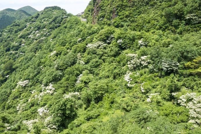 雲仙(長崎県島原半島)のヤマボウシ、第2吹越