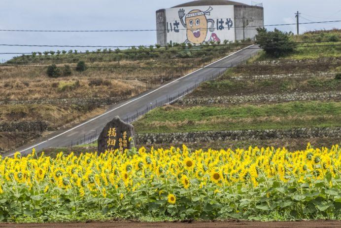 飯盛のヒマワリ畑(ひまわり)