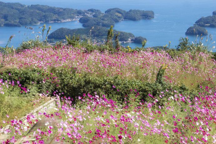 琴海赤水公園(長崎市琴海戸根原町)のコスモス