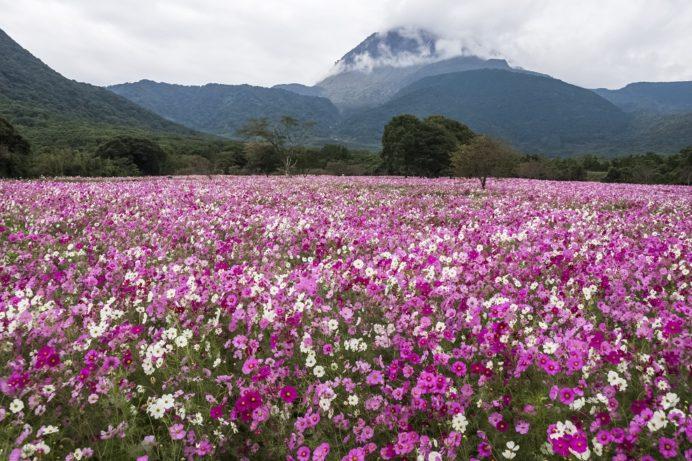 しまばら火張山花公園(長崎県島原市上折橋町)のコスモス