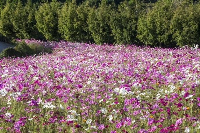 松本ツツジ園(長崎県大村市)のコスモス