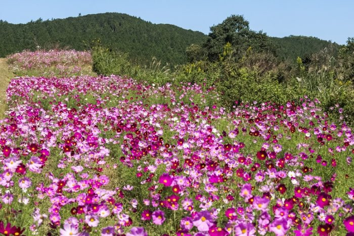 琴海赤水公園【コスモスが満開!】~見頃速報
