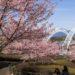 【2021年、見頃速報!】「西海橋公園の河津桜」~2月も花見できます